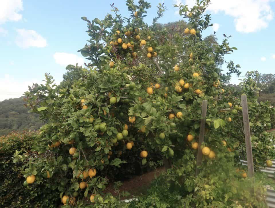 Gorgeous lemon tree in garden loaded with lemons