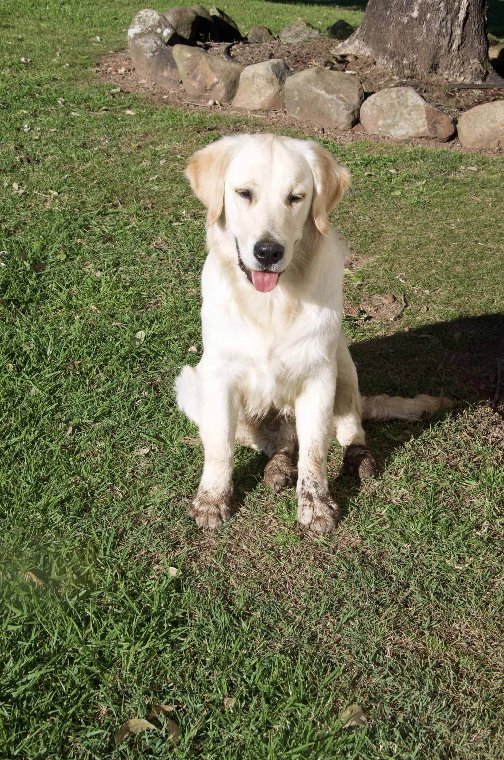 Cooper the golden retriever pup with very dirt paws after digging holes