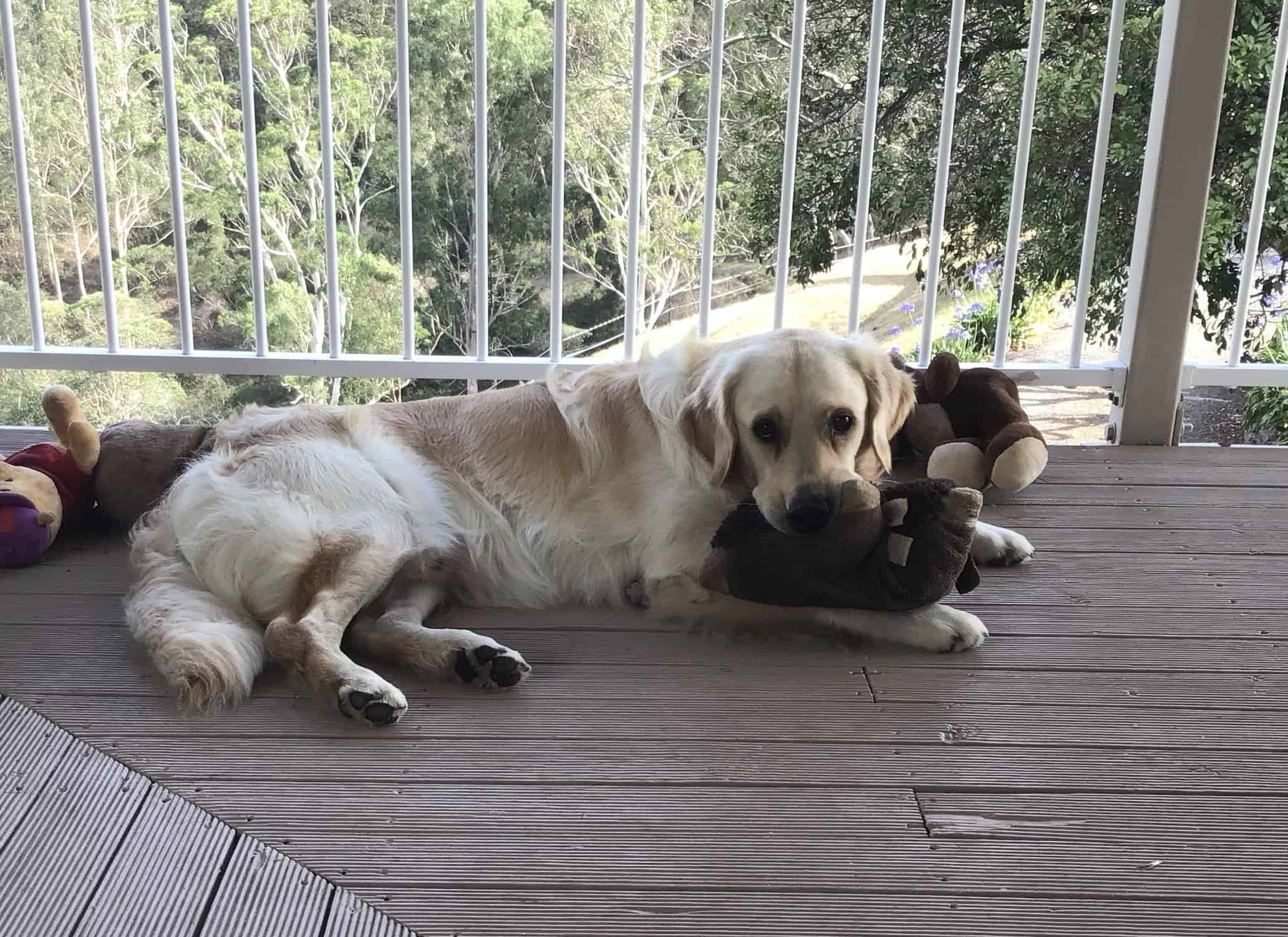 Cooper the golden retriever pup on the verandah surrounded by soft toys