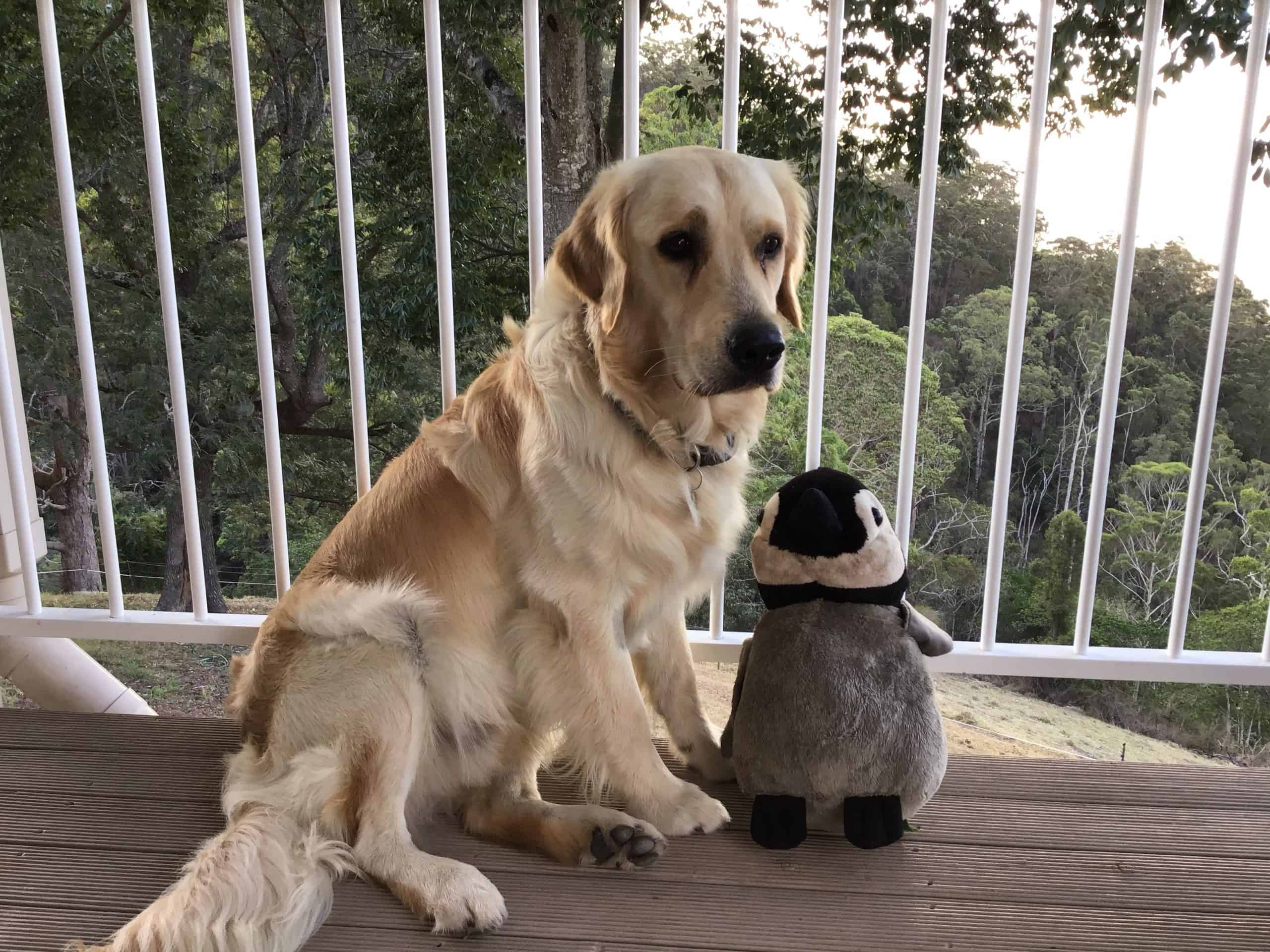 Cooper the golden retriever pup sitting on the verandah with a soft toy penguin