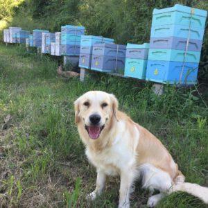 cooper the golden retriever near bee hives