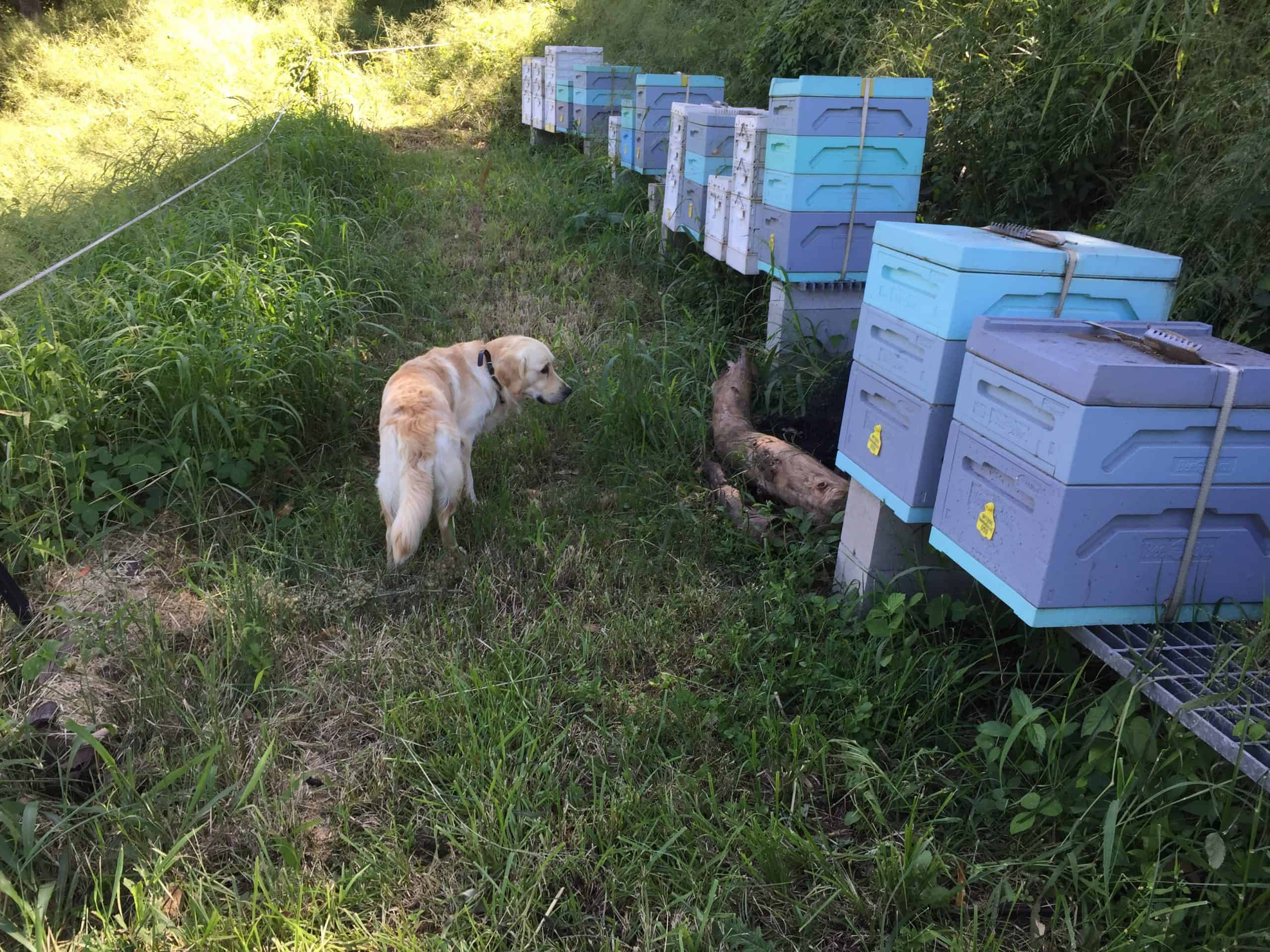 golden retriever checking out bee hives