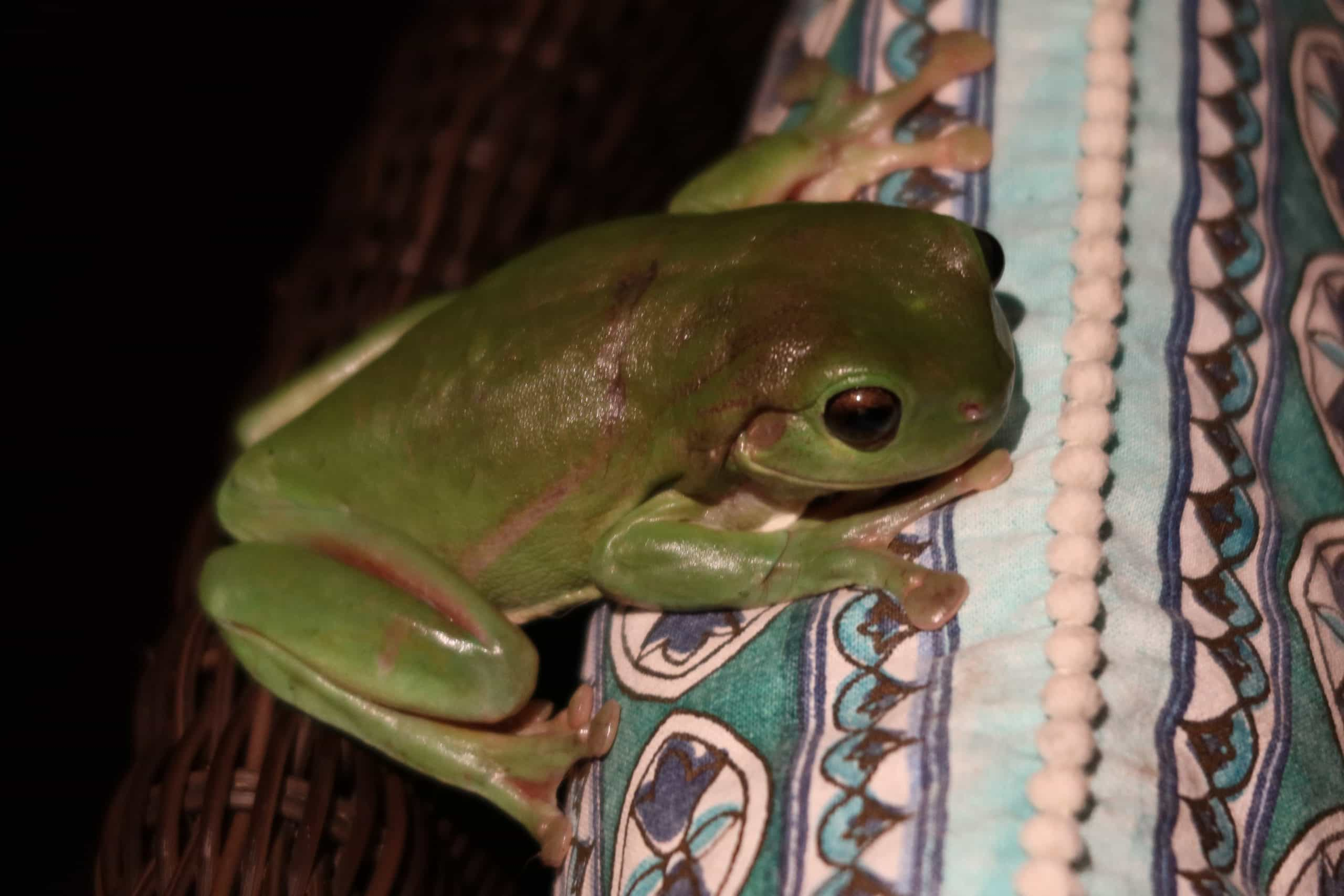 Australian green tree frog on a chair