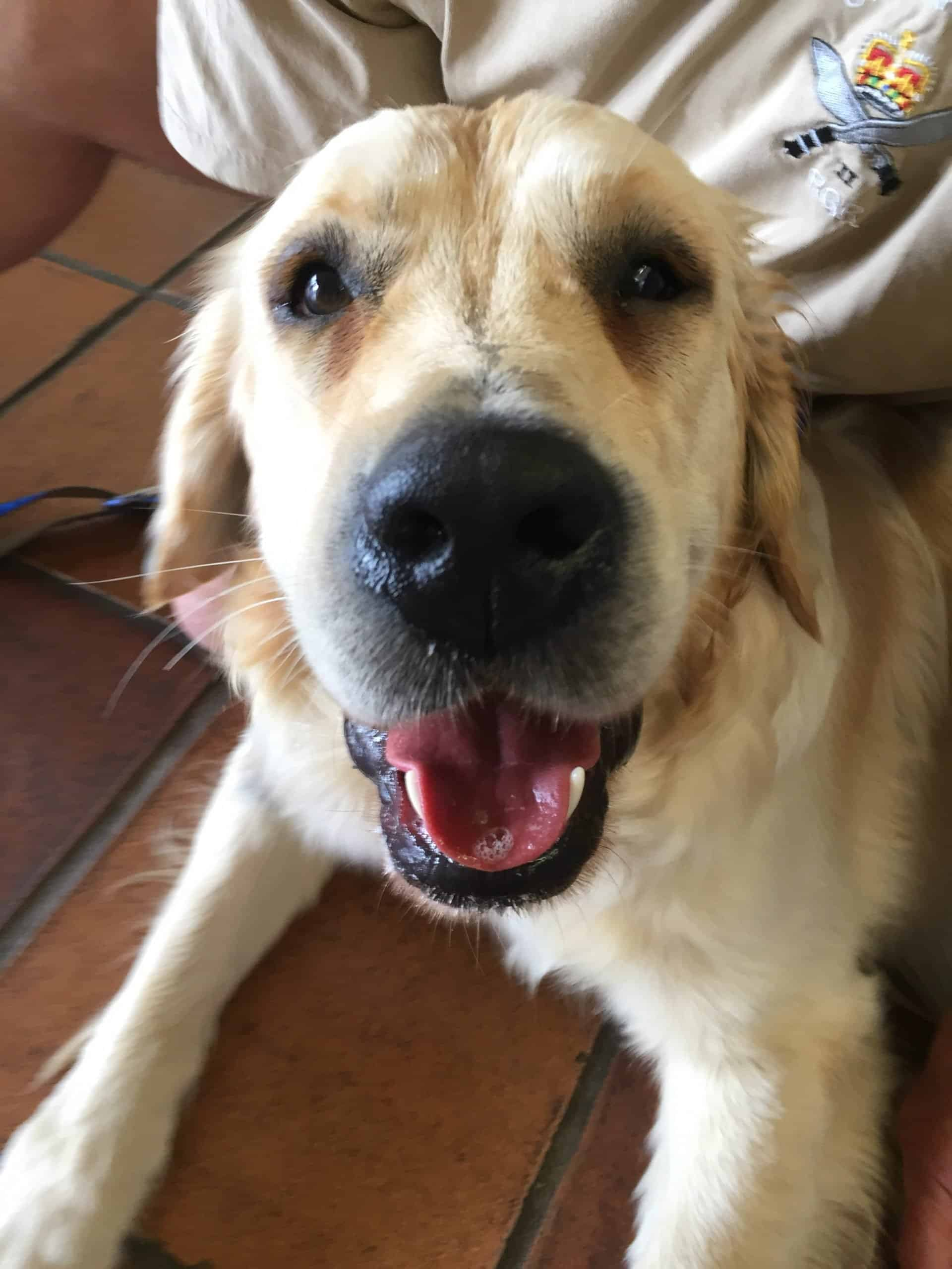 golden retriever with a swollen face after a bee sting