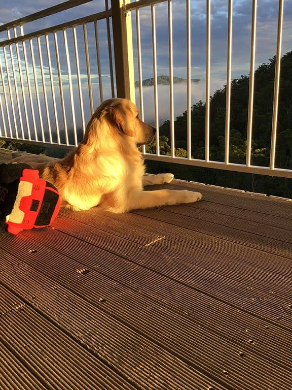Cooper the golden retriever on the deck