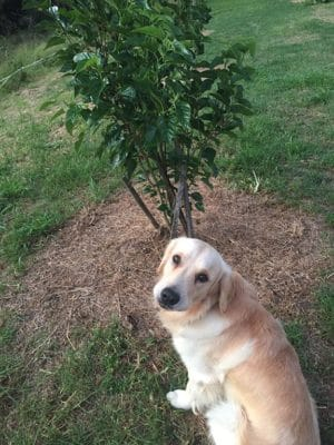 golden retriever Cooper in the orchard